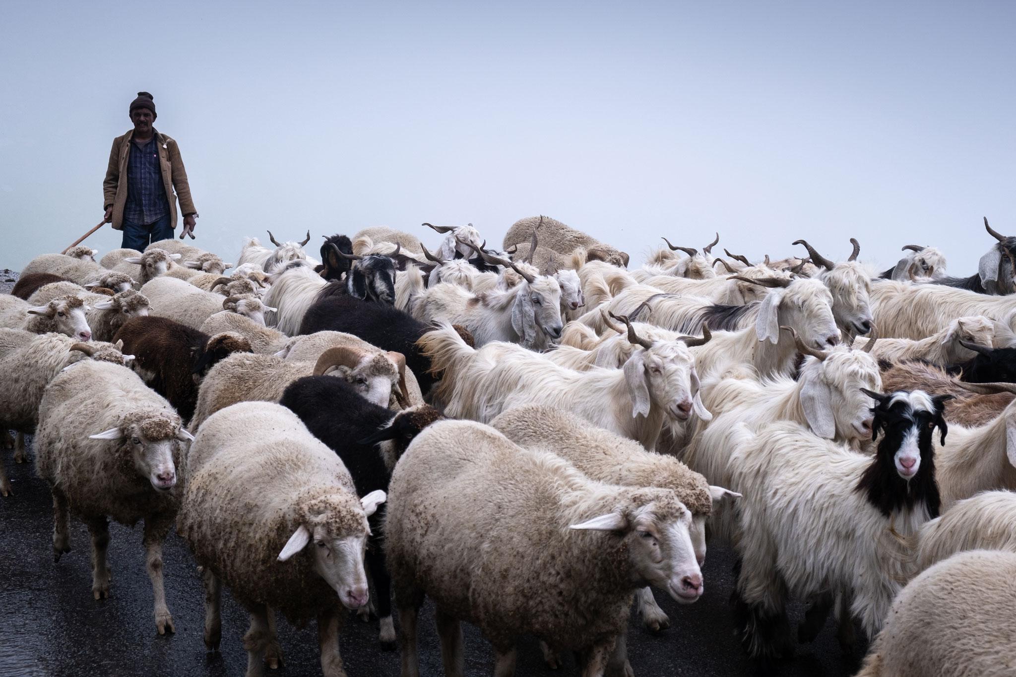 shepherd-goats-rhotang-pass