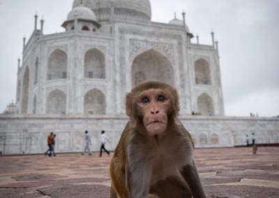 Monkey Taj Mahal