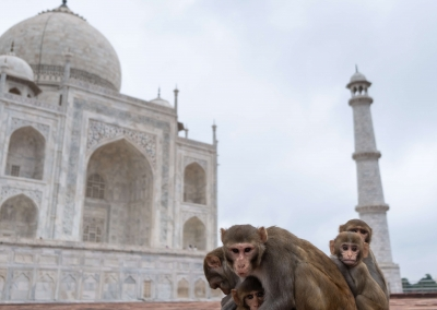 Monkey family - Taj Mahal