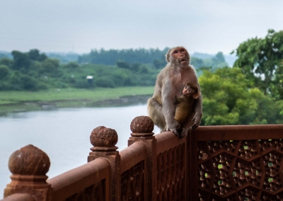 Monkeys at Taj Mahal