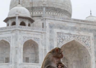 Taj Mahal - Baby monkey