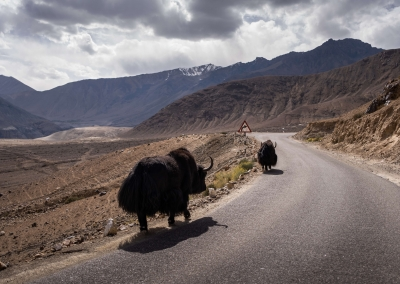 Yaks on the road to Nubra Valley