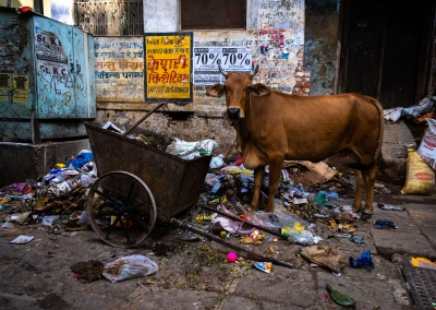 Cow and trash - Varanasi