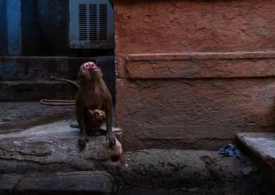 Monkeys-varanasi-india