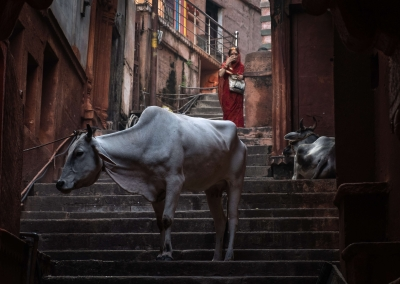 Red woman and cows - Varanasi