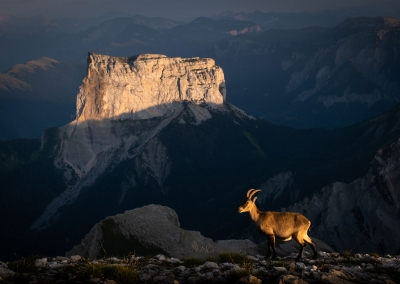 IBEX IN THE FRENCH ALPS
