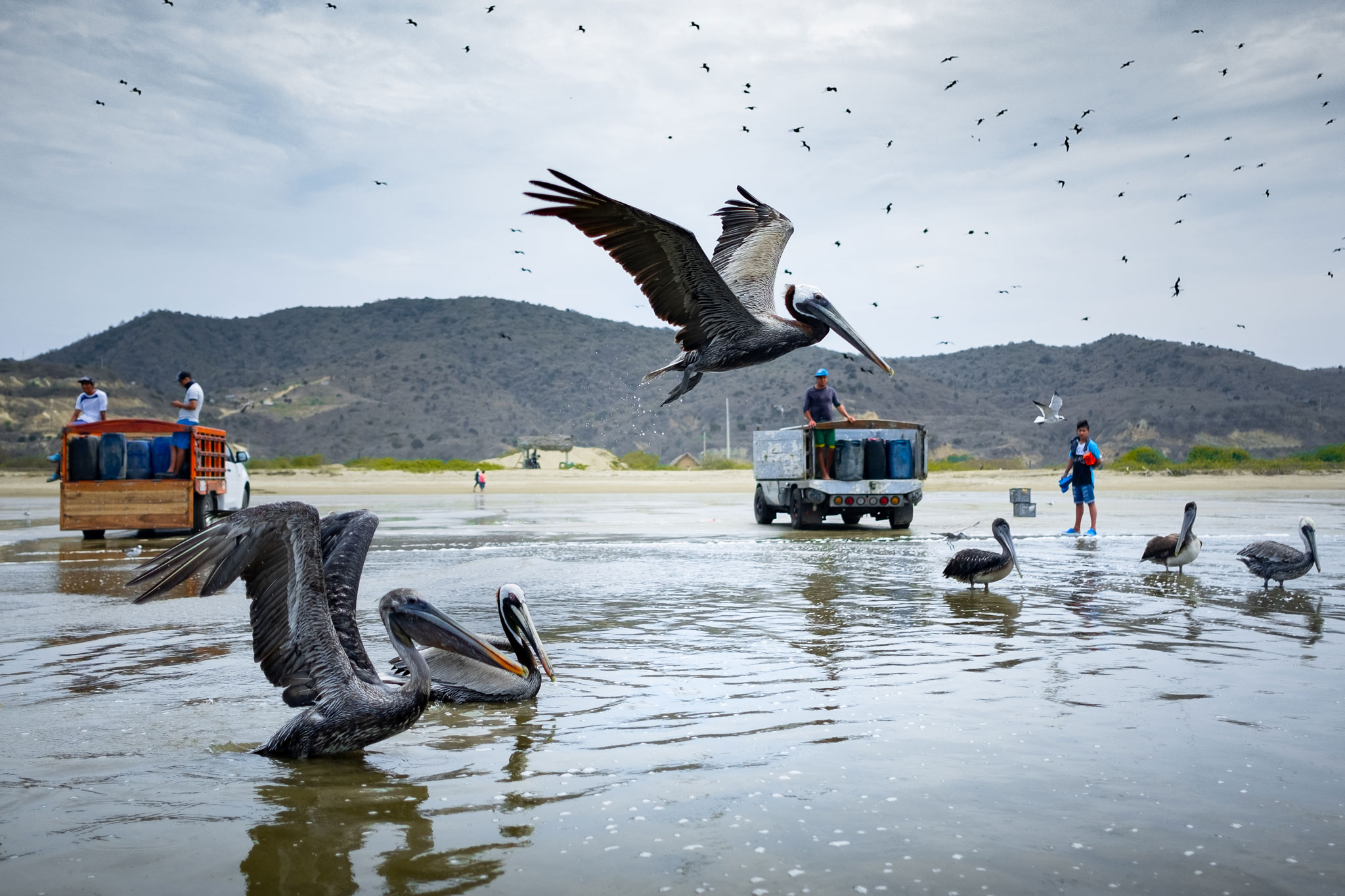 PELICANS OF THE PACIFIC ECUADORIAN COAST