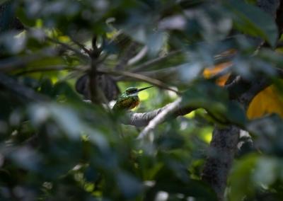 colibri-minca-colombia