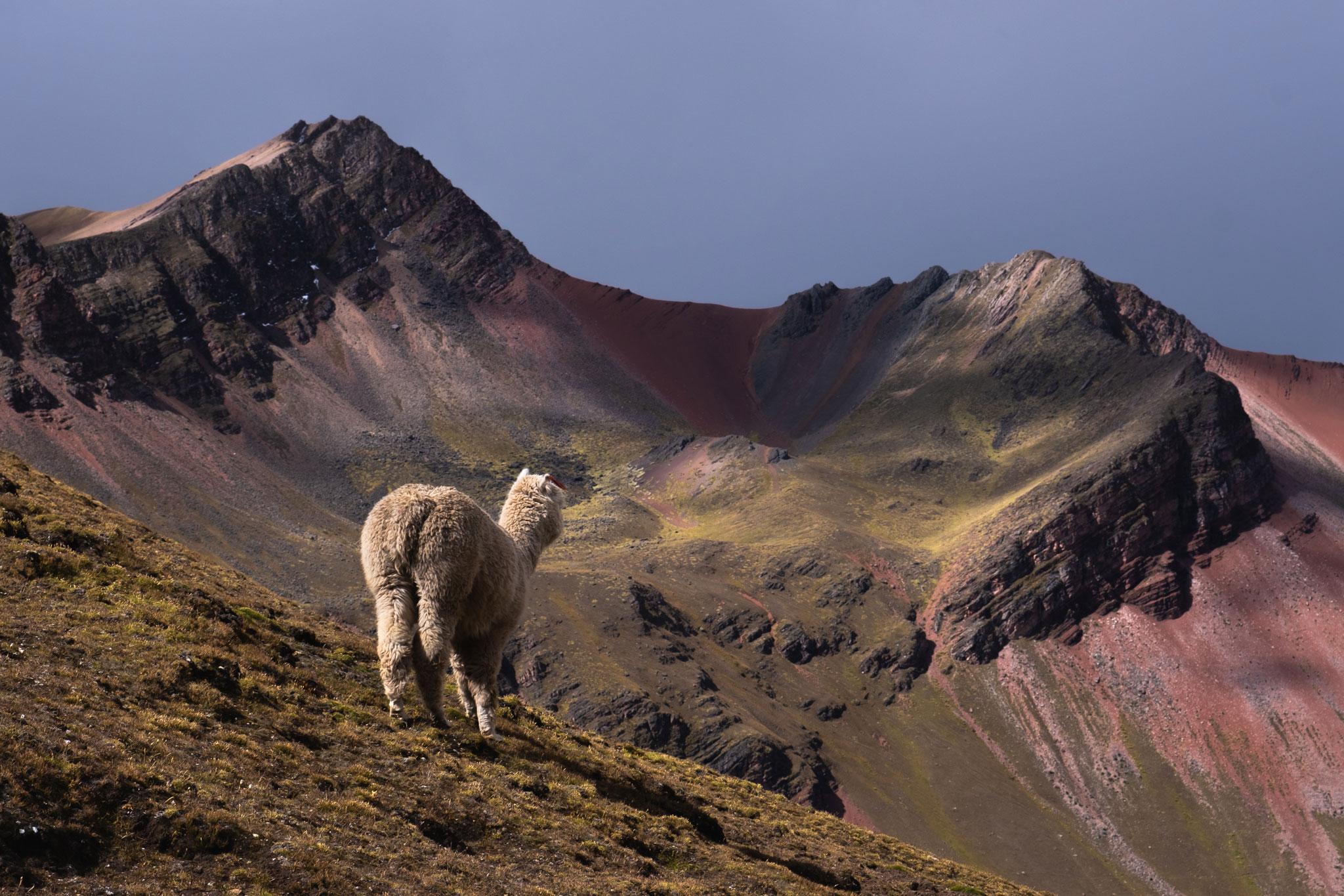alpaca-peruvian-andes