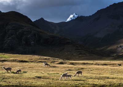 alpacas-ausangate-region-peru