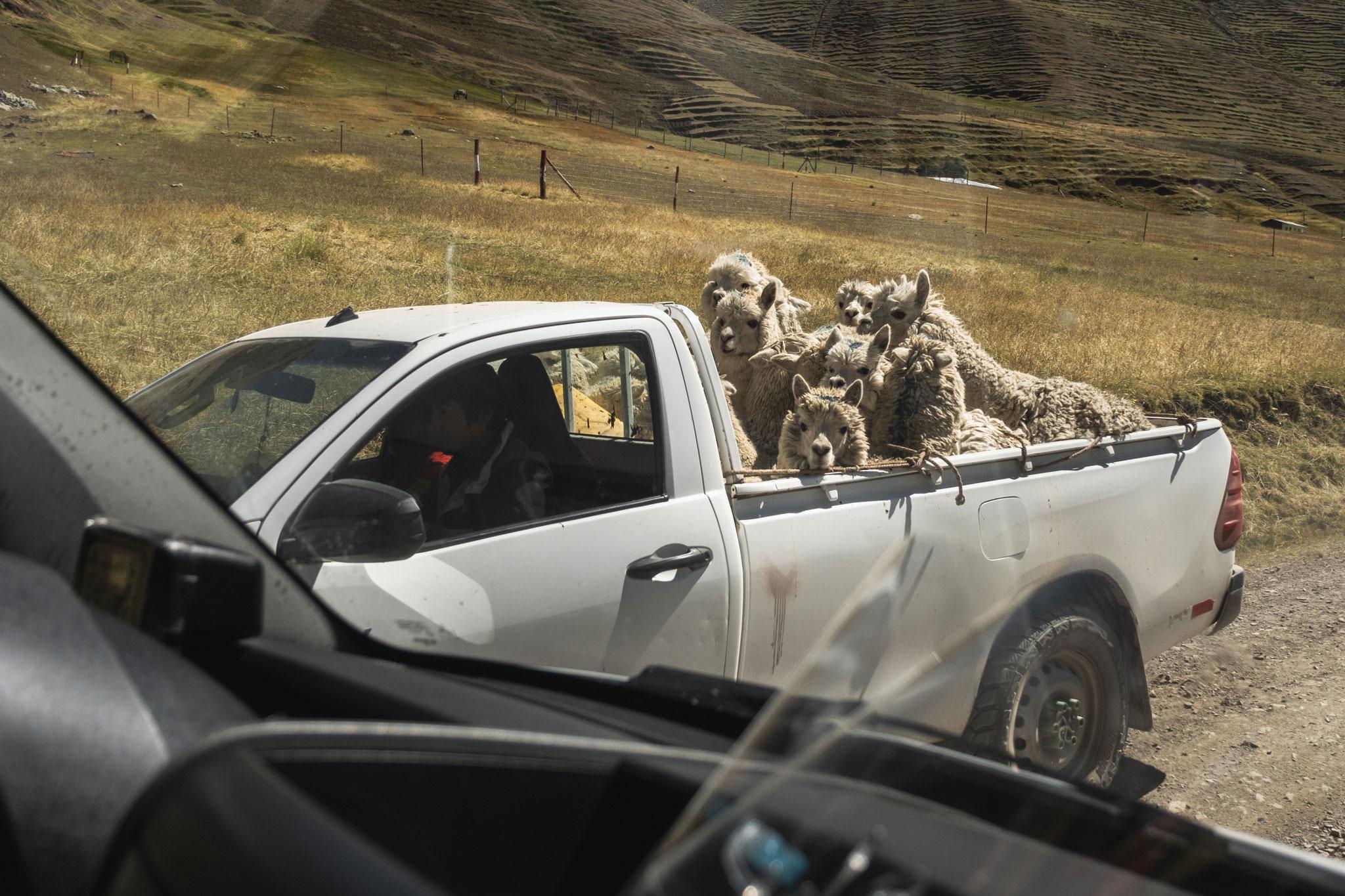 alpacas-in-a-truck-peru