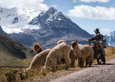 modernity-alpacas-ausangate-peru
