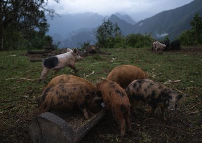 pigs-of-saturnina-peru