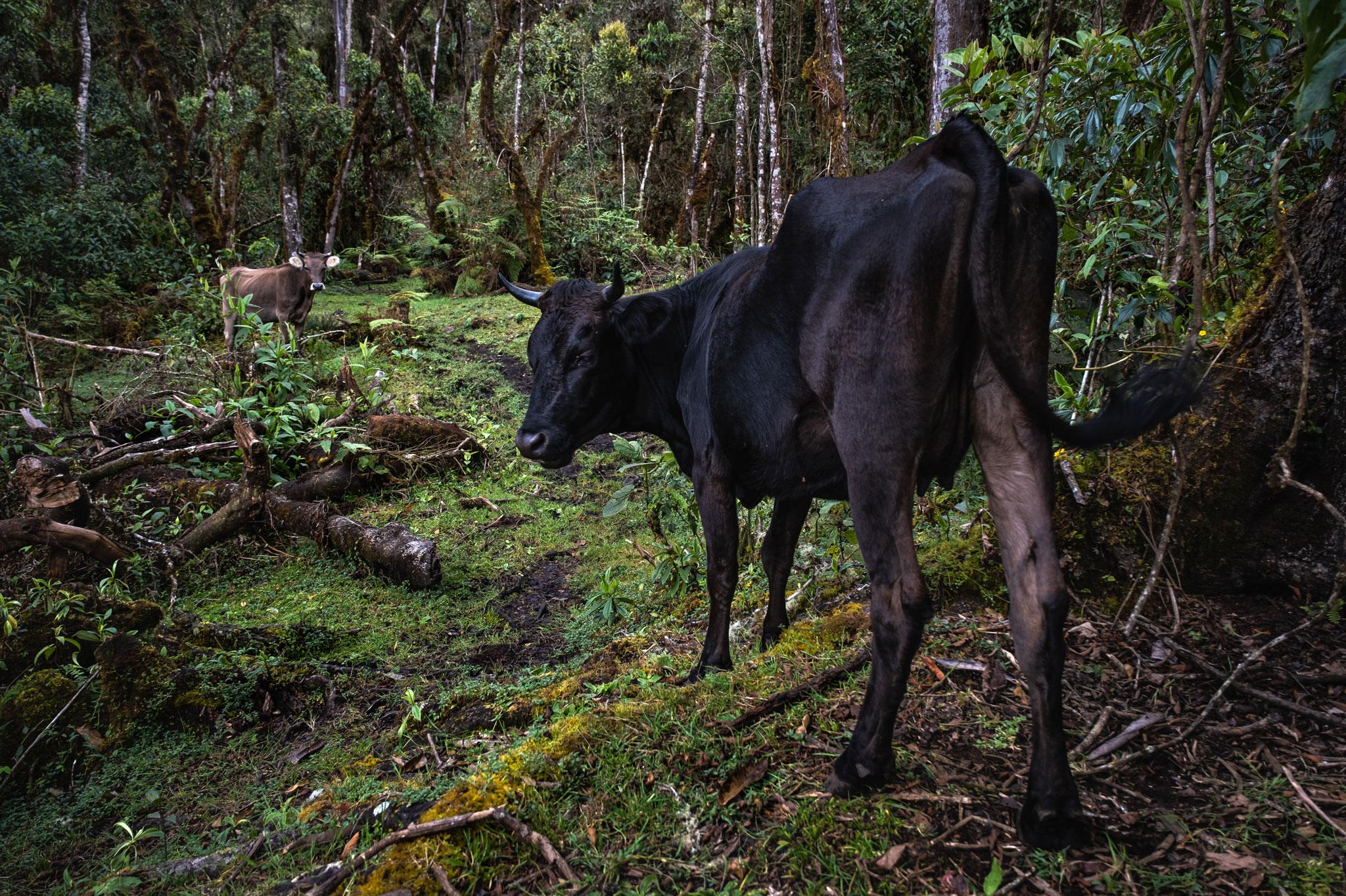 cesar's-cows-llaqtapata-peru